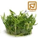Hellanthium Tenellum 'Green'
