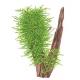 Taxiphyllum Spiky
