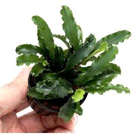 bucephalandra Wavy Leaf