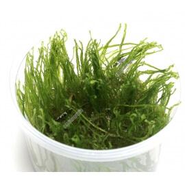 Erect Moss