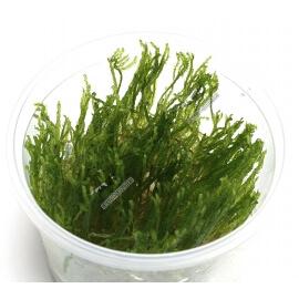 Erect Moss In Vitro