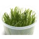 Taiwan Moss In Vitro