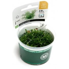 Ludwigia Arcuata  - Plant It!
