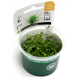 Eichhornia diversifolia   - Plant It!
