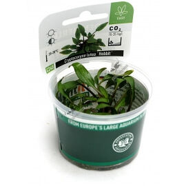 Cryptocoryne lutea ´Hobbit´  - Plant It!