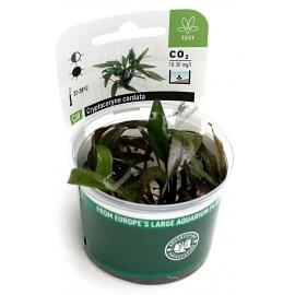 Cryptocoryne lutea ´Hobbit´  - Plant It!