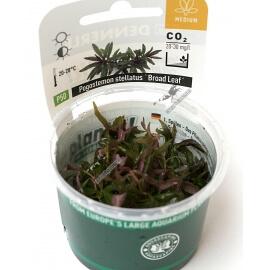 "Pogostemon stellatus ""Broad Leaf""  - Plant It!"