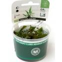 Cryptocoryne usteriana    - Plant It!