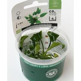 Cryptocoryne pontederifolia - Plant It!