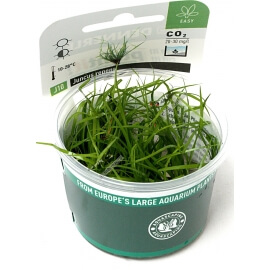 Juncus repens  - Plant It!