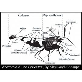 """Poster """"Anatomie d'une crevette"""""""