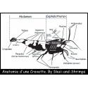 """Poster """"Anatomie d'une crevette"""" A5"""