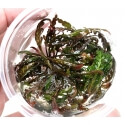 Hygrophila pinnatifida - In Vitro!