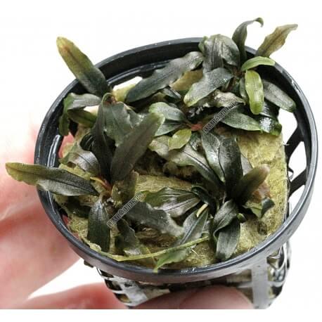 "Bucephalandra ""mini Catherinae"""