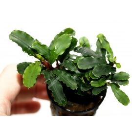 "Bucephalandra f. motleyana ""Sintang"""