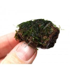 Nano Stone avec Mousse de Java