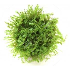 Mini Pearl Moss  In Vitro