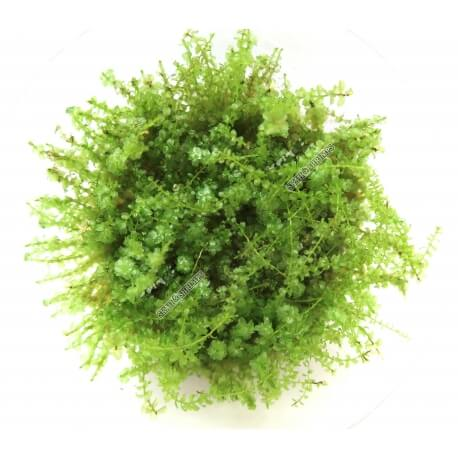 Mini Pearl Moss  In Vitro