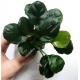 "Anubias ""Golden Coin"" Limited Edition"