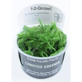Myriophyllum  'mattogrossense' - Limited Edition